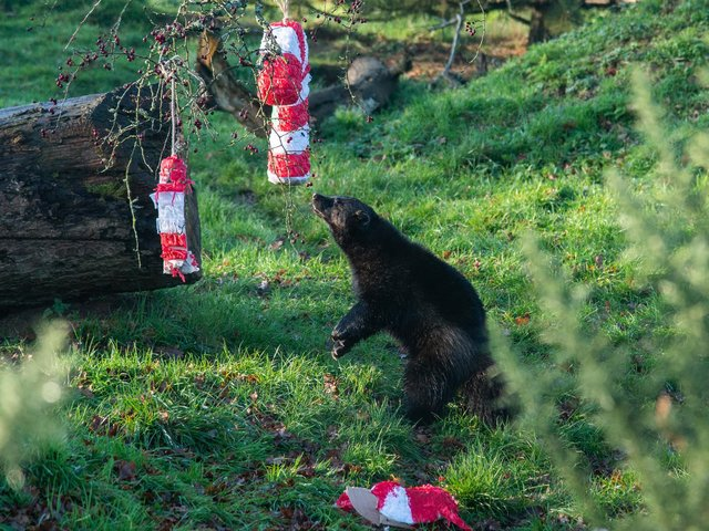 Wolverine at ZSL Whipsnade Zoo tears into Christmas treat (C) ZSL