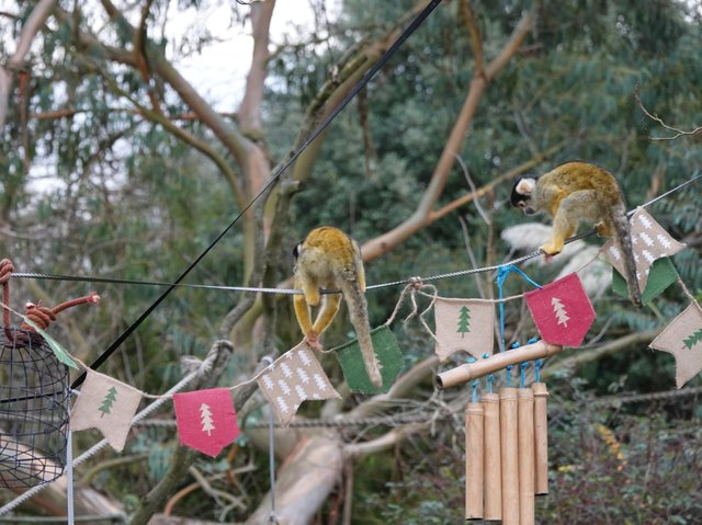 Squirrel monkeys celebrate the zoo's reopening (C) ZSL