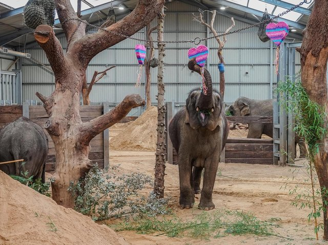 Love is in the air at ZSL Whipsnade Zoo this week, as keepers treated the Asian elephants to a Valentine's surprise (C) ZSL