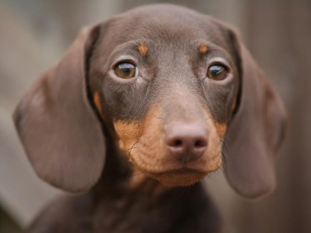Tilly the Dachshund has been crowned Riverside's Prettiest Pet!
