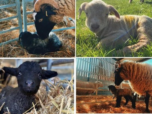 Lambing season is in full swing as Box Moor Trust welcomes new additions