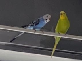 Bobby blue and Lemon are back with their owner