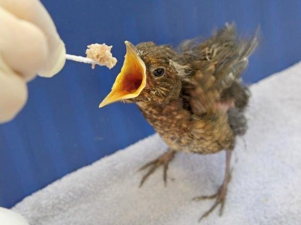 A fledgling being fed
